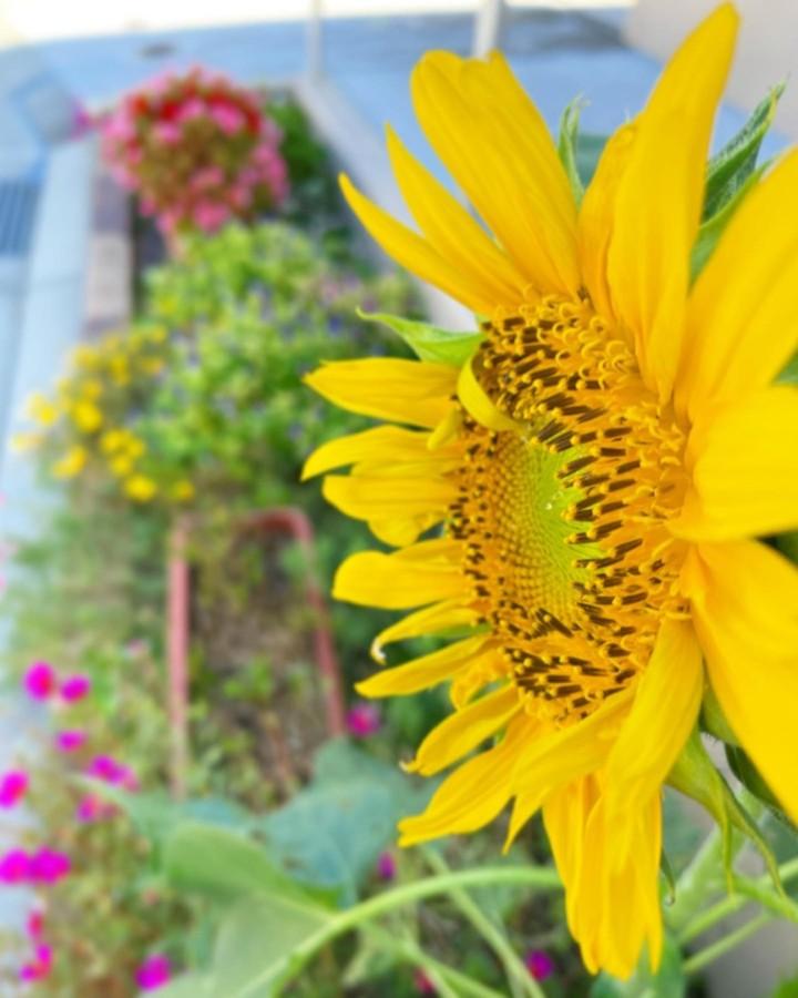 コミュセン前の花壇からこんにちは昨日の朝、突如開花を認識したひまわりです。えっ?君、咲く気配ありました??とおもわず彼女(彼?)に、問うてしまいました。確かにまだ暑いけど…そういえば、去年も秋になってからコミュセン前の花壇のひまわりが咲いていたのを思い出しました。結構涼しい季節になっても咲き続けていたんですよ。これは偶然ではありませんね。一体どういうことなのでしょう?早速、Go〇gleさんに聞いてみたら、秋に咲く品種もあるようです。しかしながら、この子がその品種なのか、素人の私には分かりません…もしわかる方がいたらぜひ教えてください♀️以上、秋に咲くひまわりに俄に心乱されるコミュセンスタッフでした
